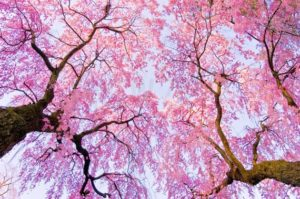 Photographic Cherry Blossom Fabric Pattern